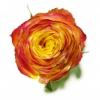 Dvispalvės rožės – Gėlių pristatymas Vilniuje