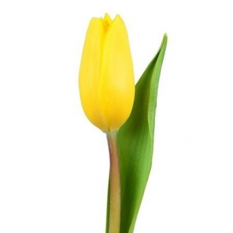 geltona tulpe