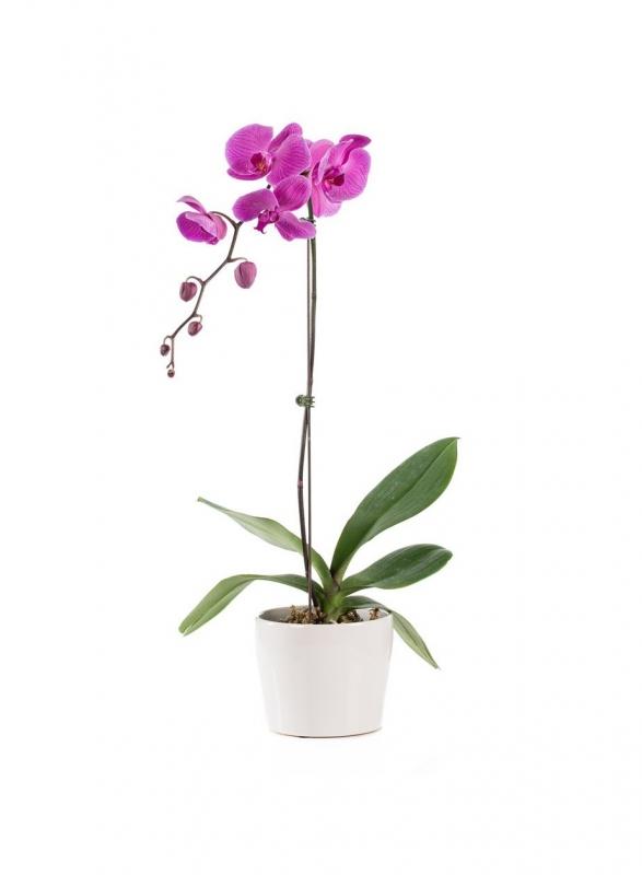 Orchidėja – Gėlių pristatymas Vilniuje