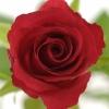 Raudonos rožės 2