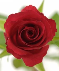 Raudonos rožės