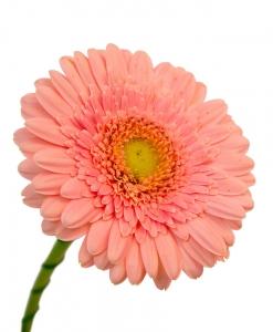 Rožinės gerberos
