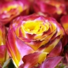 Dvispalvės rožės 4