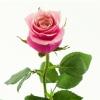 Rožinės rožės