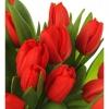 Raudonos tulpės  3