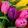 Тюльпаны «Микс» 5