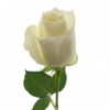 Baltos rožės
