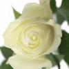 Baltos rožės 2