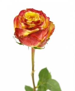 Dvispalvės rožės