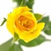 Geltonos rožės 2
