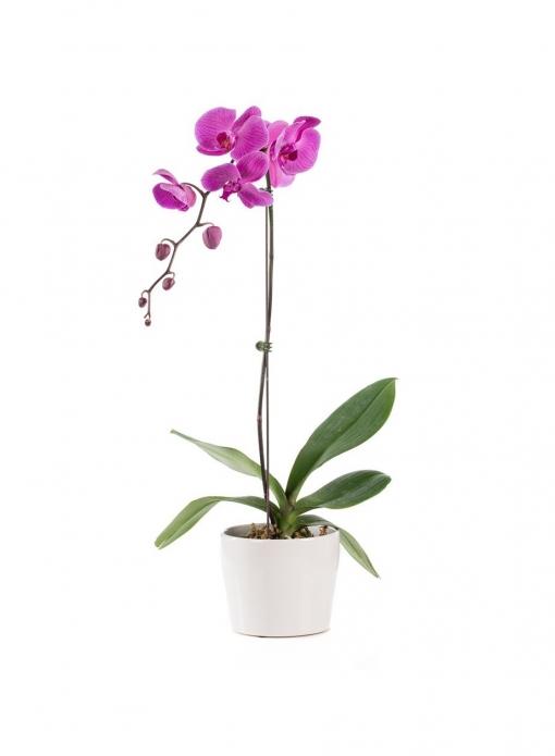 Orchideja 1